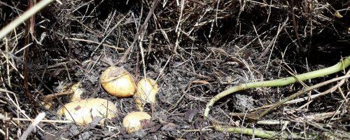 Cultivez vos pommes de terre facilement et sans trop d'efforts!
