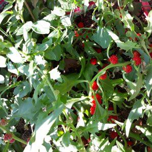 Epinard fraise (Chenopodium capitatum)
