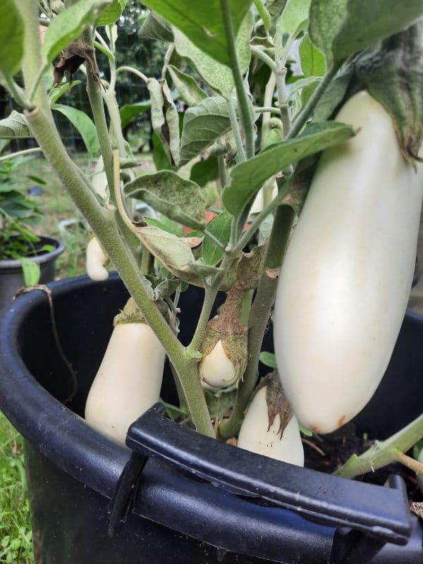 cultiver des aubergines en pot