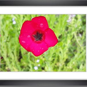 Photo d'une Fleur de lin rouge