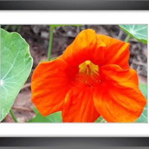 photo fleur de capucine