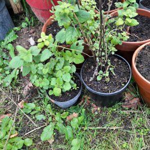 Plant : Mélisse Citronnelle (A venir chercher)