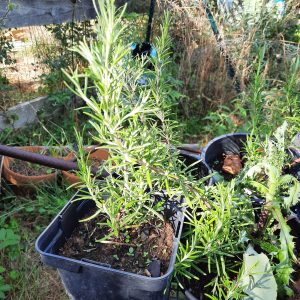 Plants : Romarin (à venir chercher)