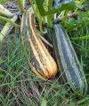 recolter ses graines de courgettes