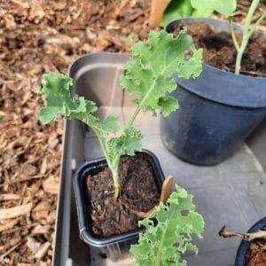 chou kale a planter