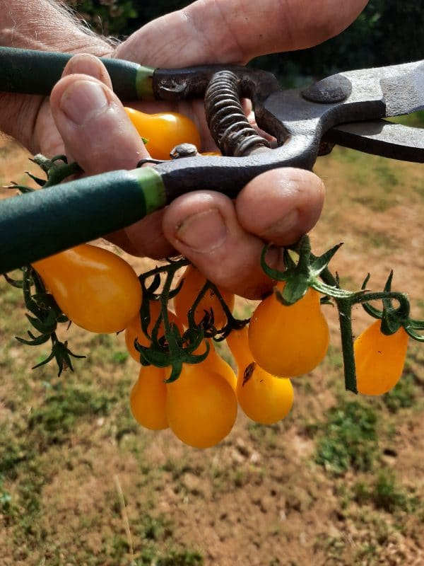 grappe de tomate poire jaune
